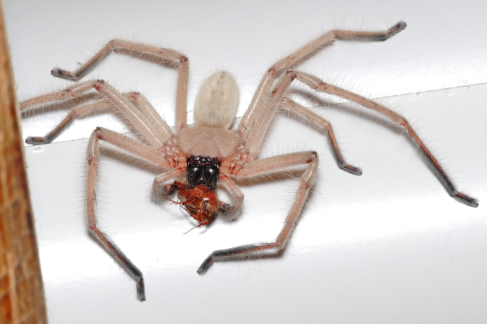 Displaying 18> Images For - Giant African Spiders...